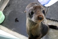 Elvis fur seal