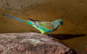 mulga parrot APY Lands south australia
