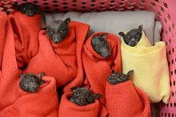 flying fox pups in bat wraps