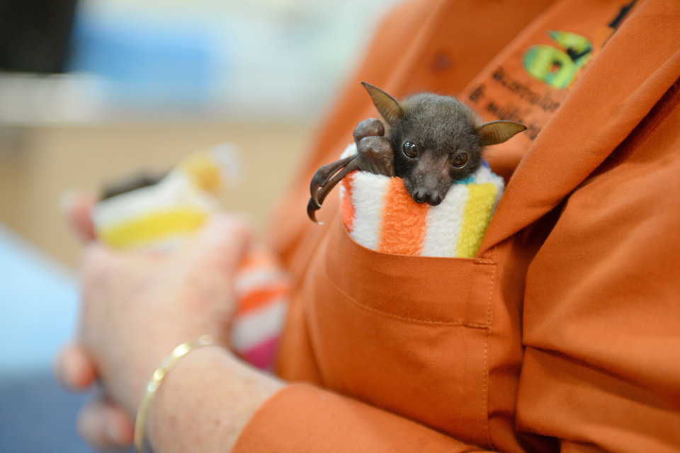little red flying fox pups