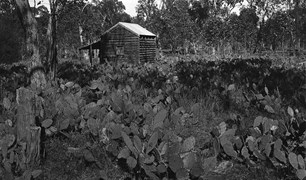 prickly pear invasion abandoned property Queensland