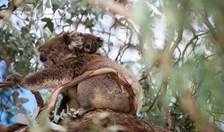 Koalas are feeling the heat, and we need to make some tough choices to save our furry friends