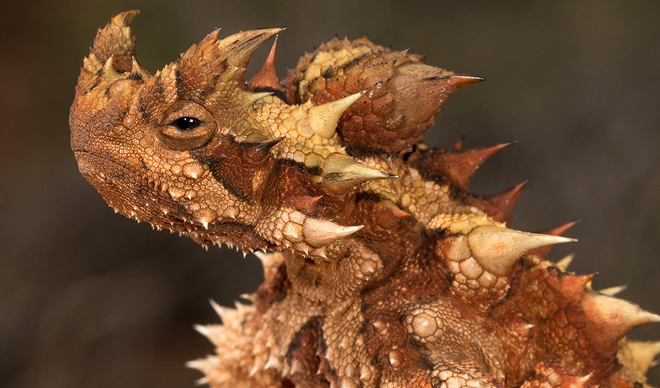 thorny-devil-moloch-horridus.jpg