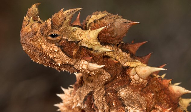 The thorny devil lizard's drinking habits