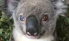 koala with two different eye colours