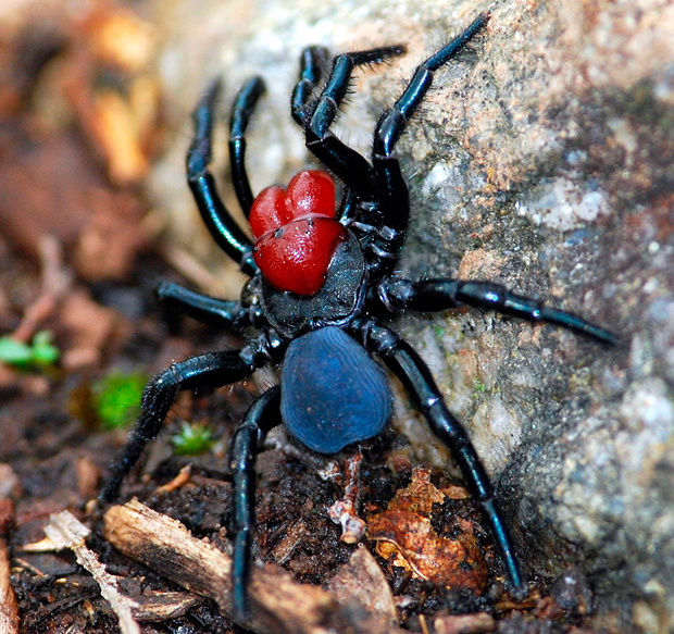 Brown Recluse Spider Bites Picture Image on MedicineNet.com