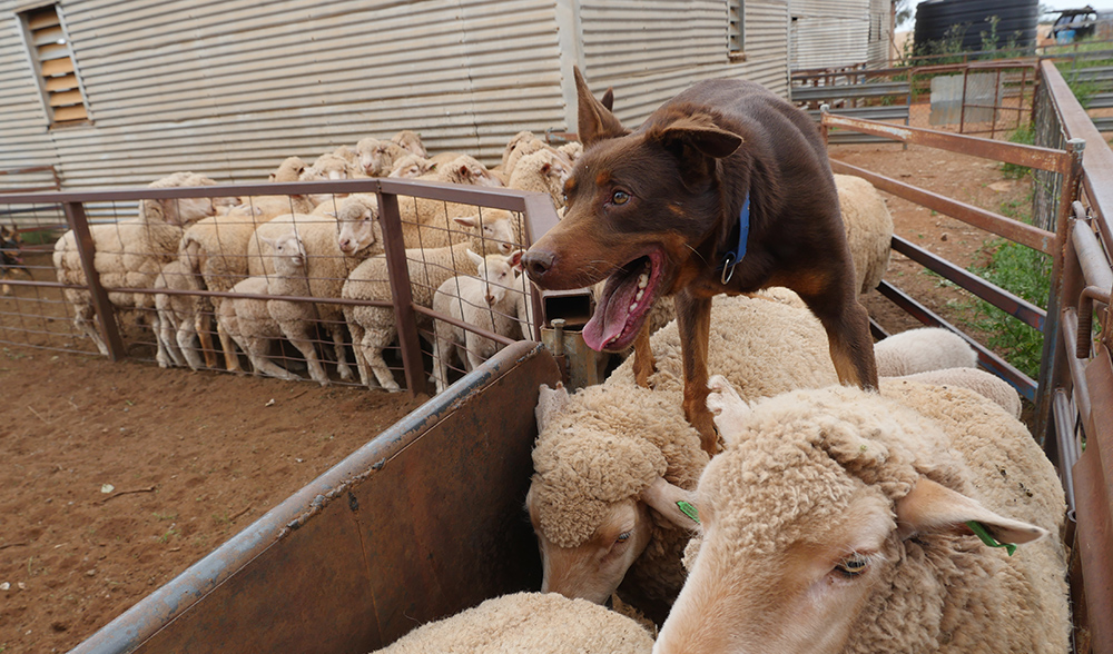 Working Cattle Dogs For Sale Nsw