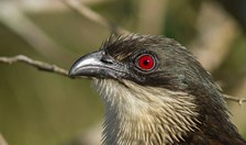 cuckoo bird coucal