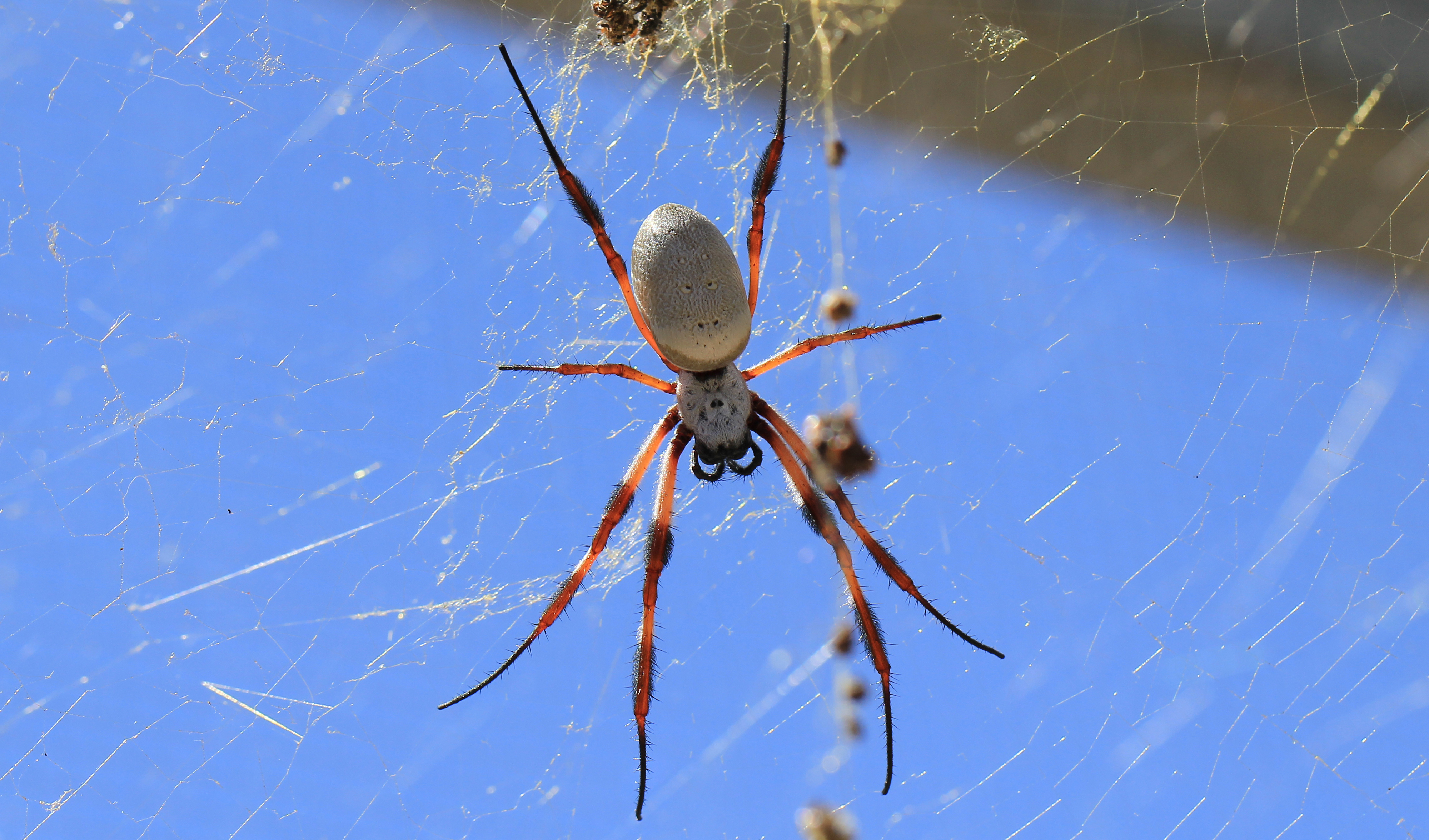La seda de esta araña puede hacer crecer tus nervios de manera acelerada