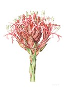 The Gymea lily (<em>Doryanthes excelsa</em>) was introduced into the garden in 1819. This painting by Deirdre Bean forms part of the gardens' florilegium.