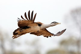 An Australian Bustard (<em>Ardeotis australis</em>) takes flight, the ends of the wing feathers characteristically spread and up-curved.