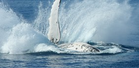 Whale of a problem: why do humpback whales protect other species from attack?