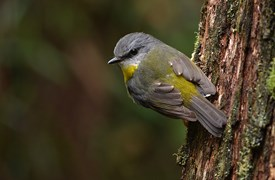 An Eastern Yellow Robin (<em>Eopsaltria australis</em>) clings to eucalyptus bark watching for his next catch