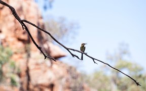 rainbow bee eater davenport ranges northern territory