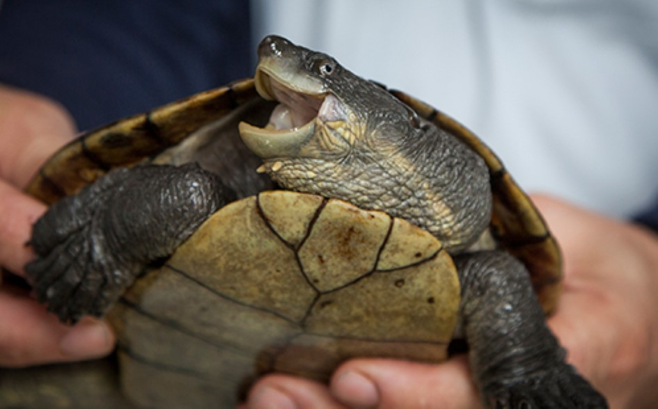 Bellinger River snapping turtle