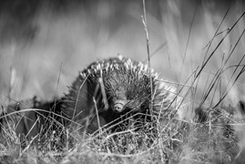 An echidna (Tachyglossidae) looks up from his lunch just long enough for photographer Melissa to capture this portrait