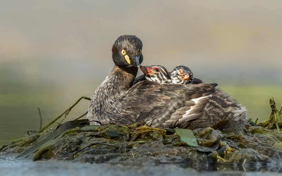 A mother Australasian Grebe (Tachybaptus novaehollandiae) nestles with her chicks, hidden between her slightly raised wings.