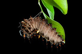 With the first strings of chitin, this Cairns Birdwing butterfly (Ornithoptera euphorion) caterpillar begins the creation of a chrysalis which will house the caterpillar until it is ready to emerge as a fully grown butterfly.
