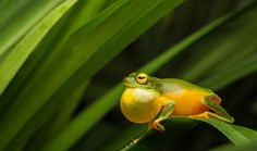 New frog species discovered in remote North Queensland