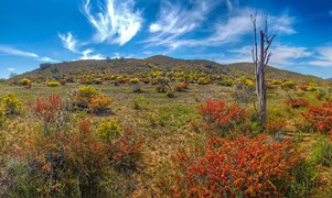 south australia flinders ranges wild flowers