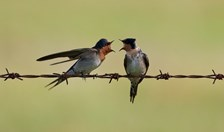 welcome swallows australian bird week