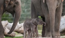 VIDEO: Asian elephant born at Taronga Western Plains Zoo
