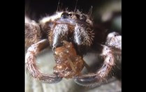 Australian huntsman spider eating a spider
