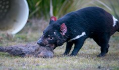 Tasmanian devil in captivity