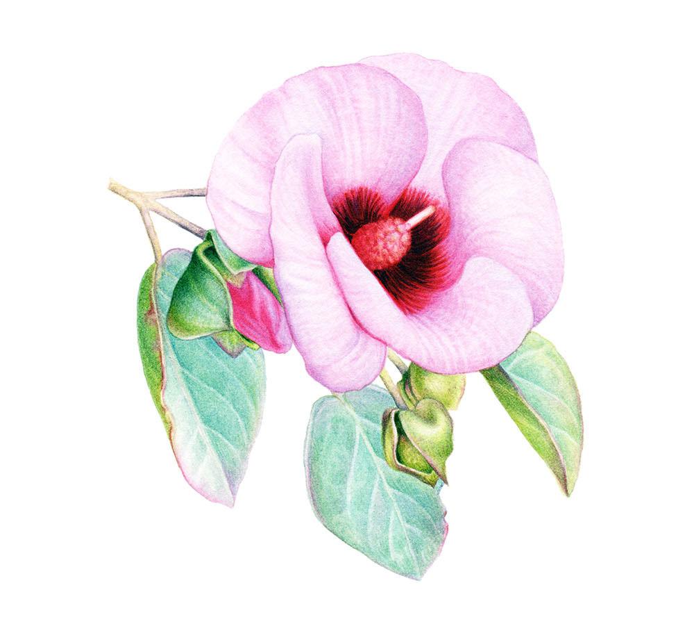 Sturt's desert rose