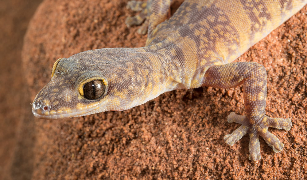 how to kill geckos australia