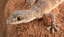 new gecko species