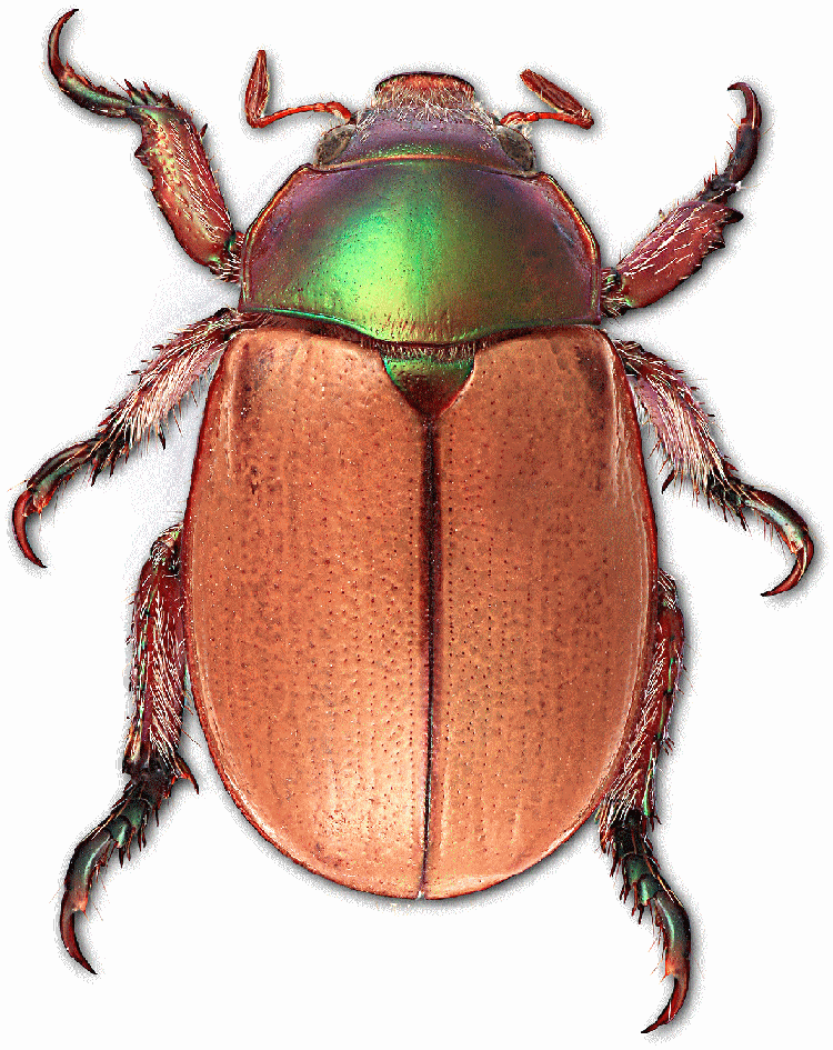Facts about Australia's Christmas beetles - Australian Geographic