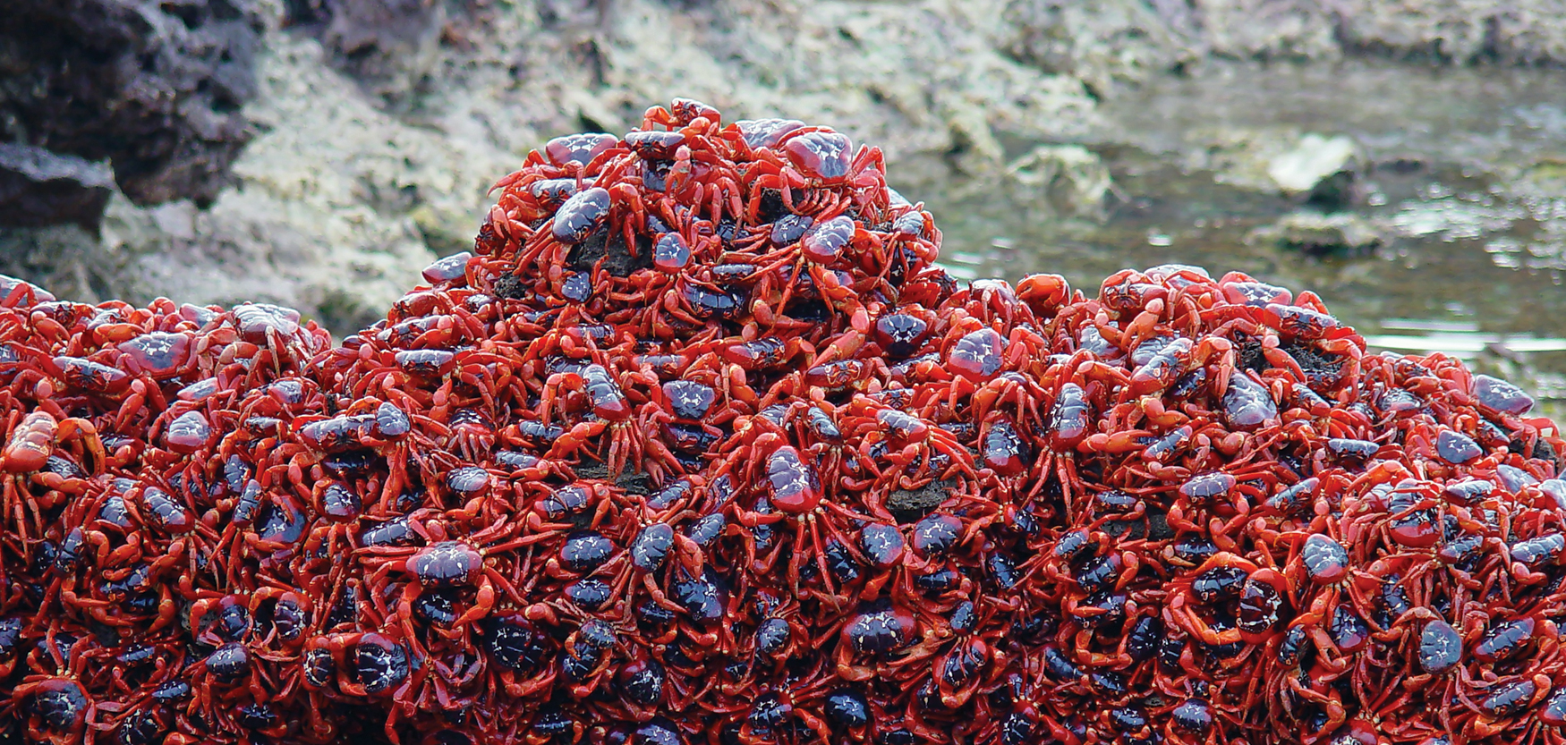 Watch Christmas Island's annual red crab migration live online ...