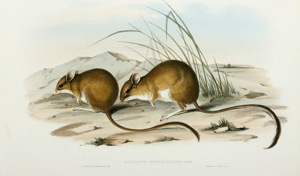 Long-tailed hopping mouse illustration
