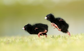 swamp hen chicks