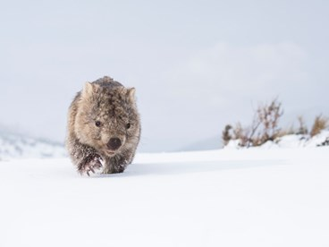 wombat in snow