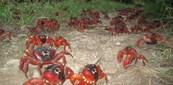 red crabs christmas island