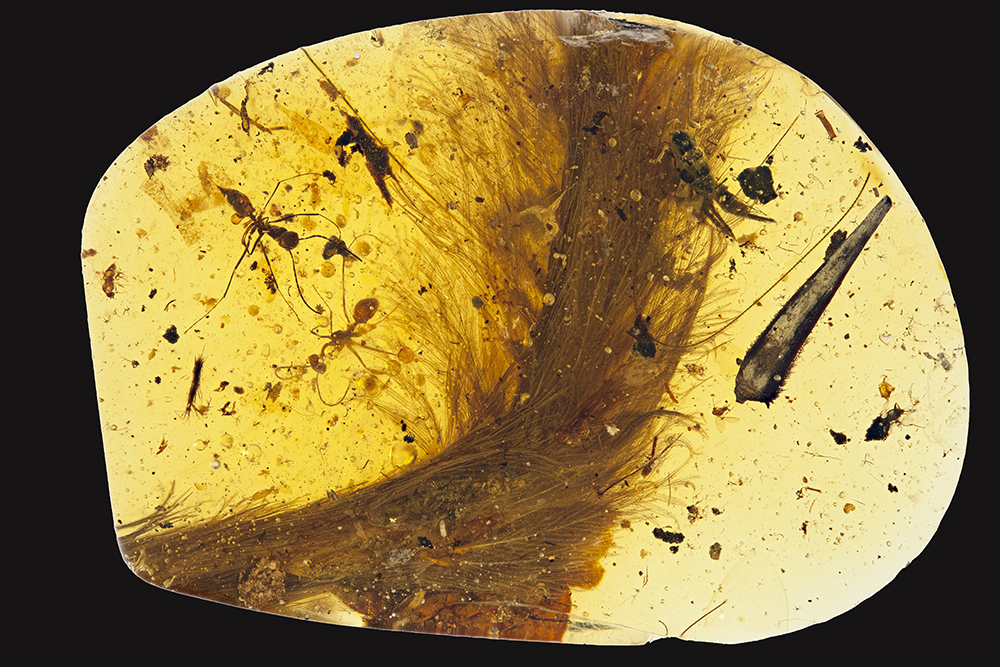 The feathered dinosaur tail in amber