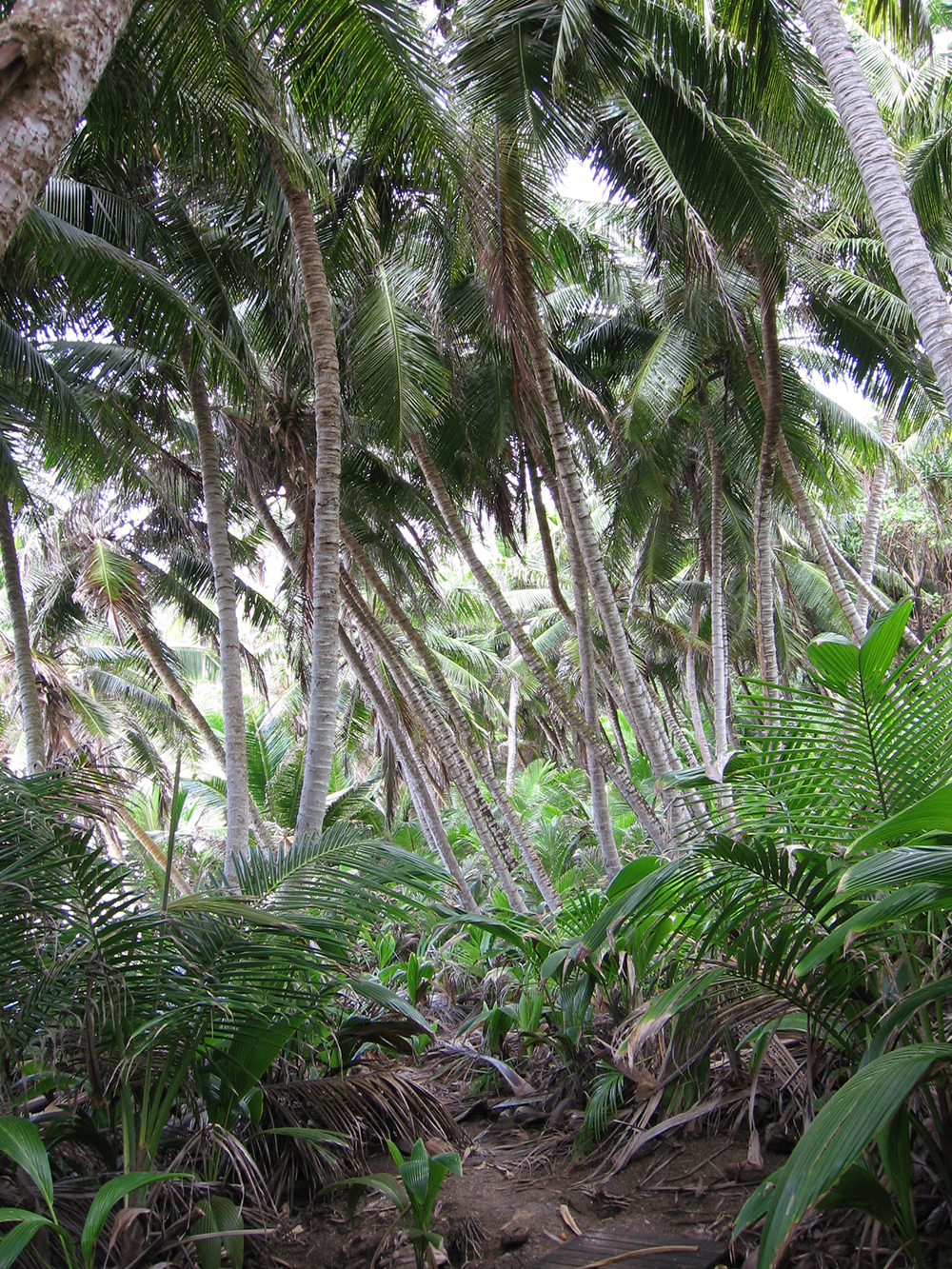 wild coconuts dolly beach christmas island