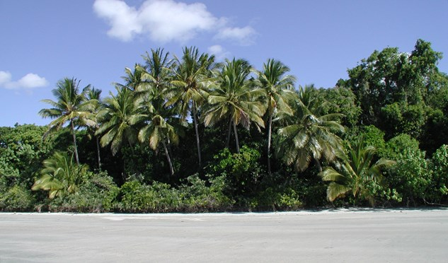 coconut palms cowie beach