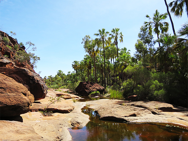 Livistona palms on the Mpulungkinya Walk at Finke Gorge National Park