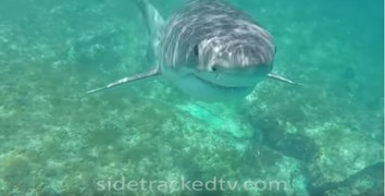 great white shark video viral