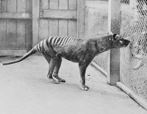 Tasmanian tiger at Hobart Zoo in 1933.
