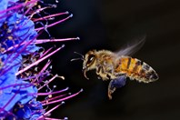 A European honey bee (<em>Apis mellifera</em>) hovers near a flower, assessing the best place to land in order to collect the most pollen