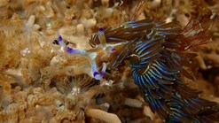 blue dragon nudibranch