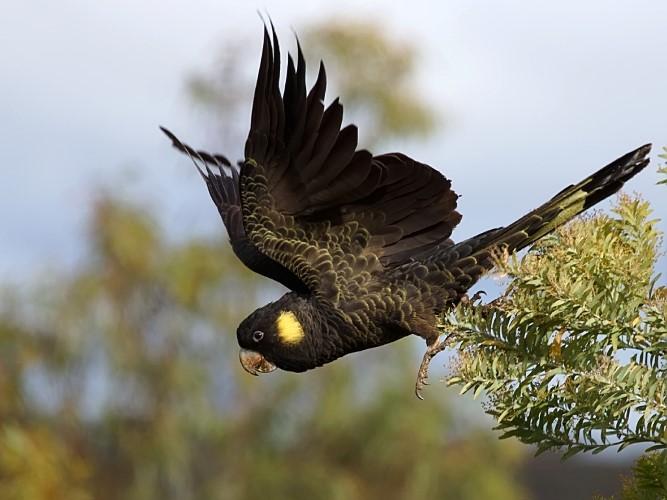 hobart birds
