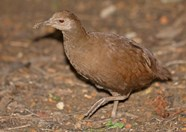 lord howe woodhen endangered species