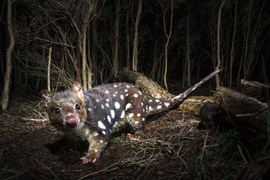 quoll wildlife photography