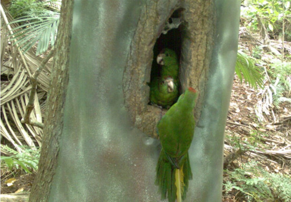 norfolk island green parrot nest