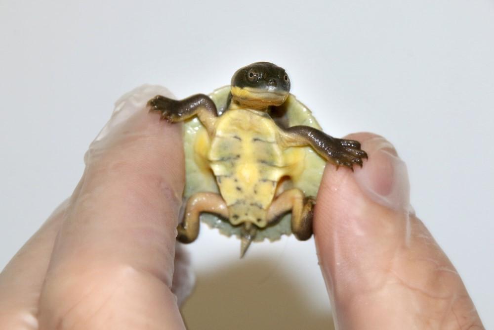 bellinger river snapping turtle hatchlings